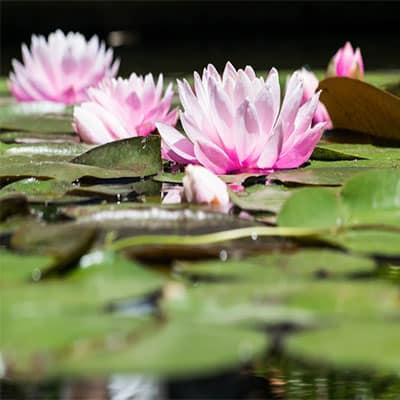 Lotusöl